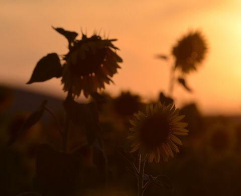 SUNSET SUNSFLOWERS